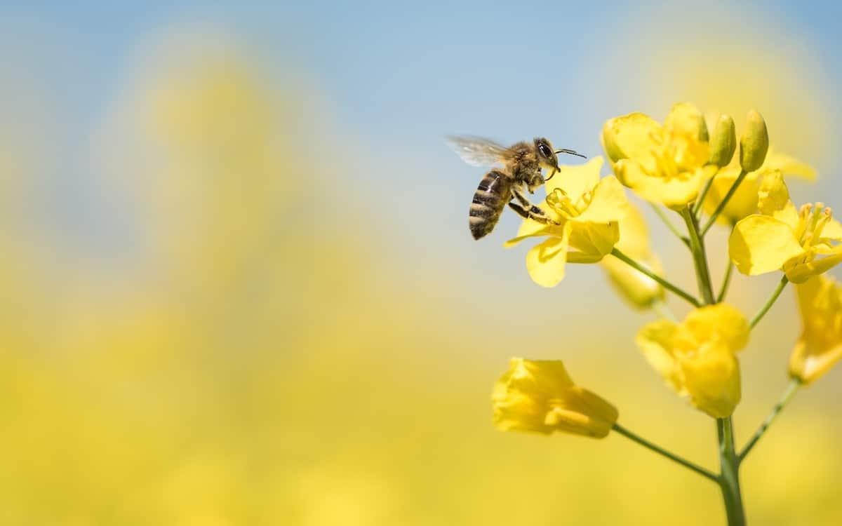 L'importance de l'abeille